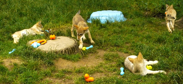 Spielzeug für die welpen im wolf science center ernstbrunn
