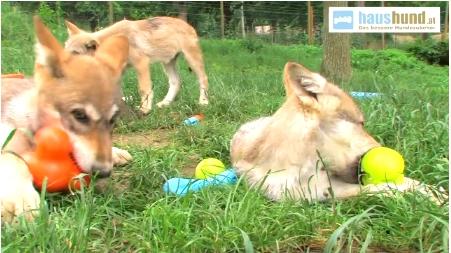 Wolfwelpen testen Hundespielzeug West Paw